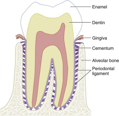 tooth diagram showing periodontal ligament