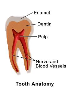 basic tooth anatomy