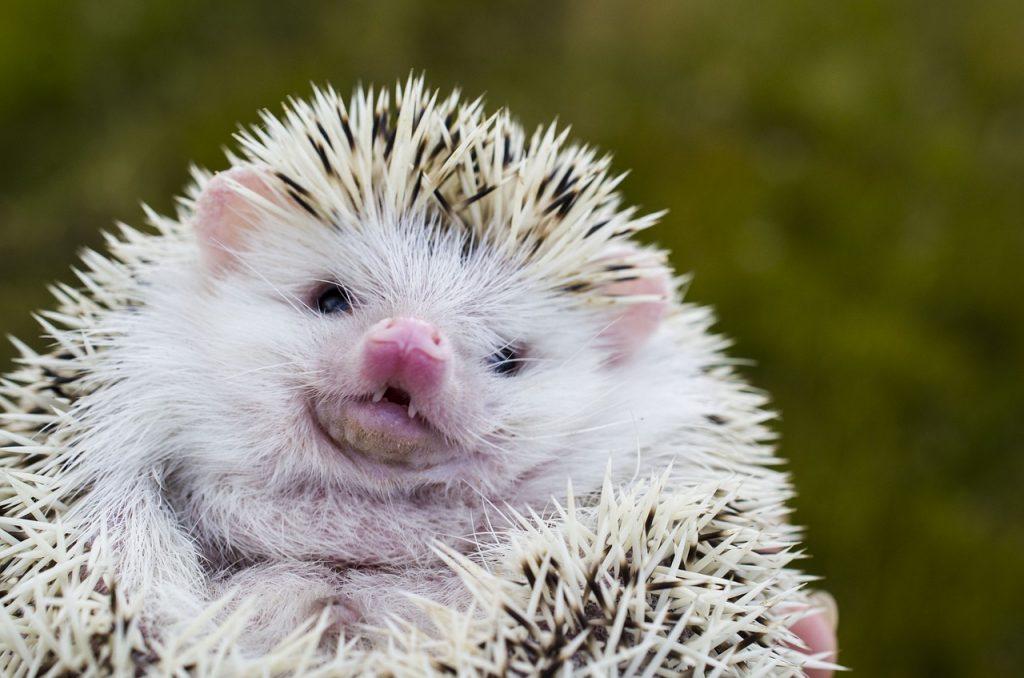 hedgehog smiling